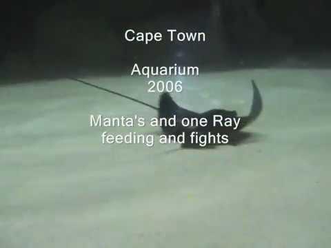 manta and ray cape town aquarium
