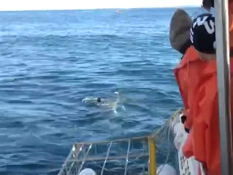 Great white shark hits diving cage near Dyer Island