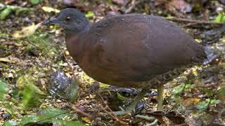 Pio n.º 12 Inhambu-guaçu (tipo bico de pato)