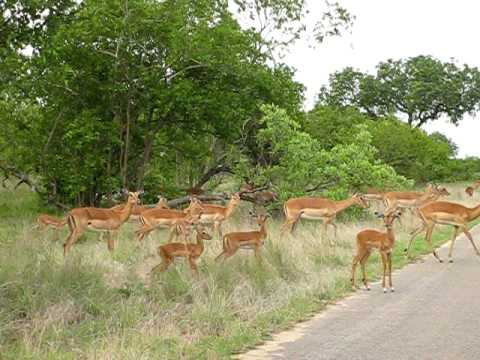South Africa Kruger Park – a big herd of impalas crossing the road just in front of our car