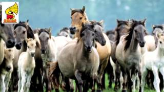 Amazing Galloping Horses   Sound Effect HQ = Animal Sound for Children