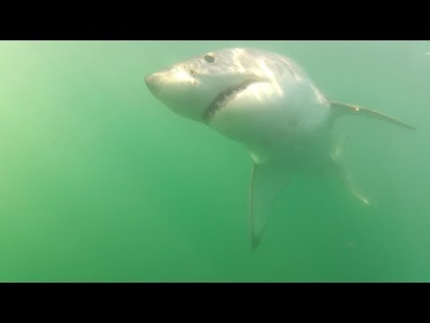 Great White Sharks – False Bay, South Africa