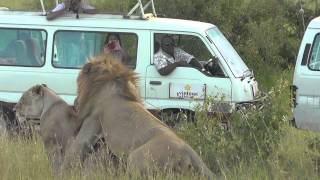 Sexing lion