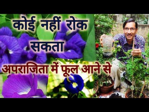 अब आपके अपराजिता में फूल आने से कोई नहीं रोक सकता / Abundant Flowering in Aparajita or Blue pea