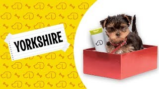 Fatos Sobre o Yorkshire Terrier!