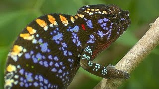 Live Fast, Die Young: Labord's Chameleon - Madagascar - BBC