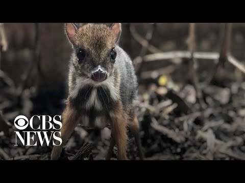 Tiny mouse deer born at Bristol Zoo