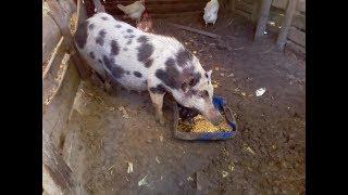 PORCAS COMENDO // Qual porca vai parir mais leitões?