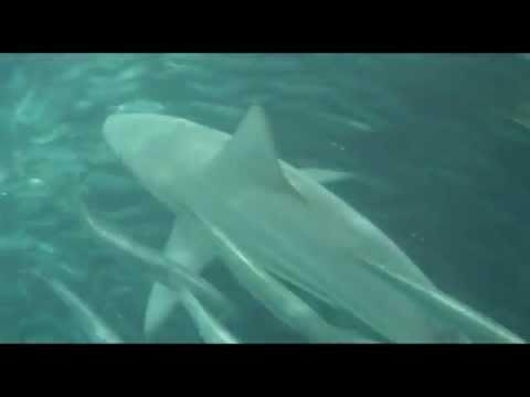 SARDINE RUN WHALE, SHARK, DOLPHIN AND BIRD ACTION