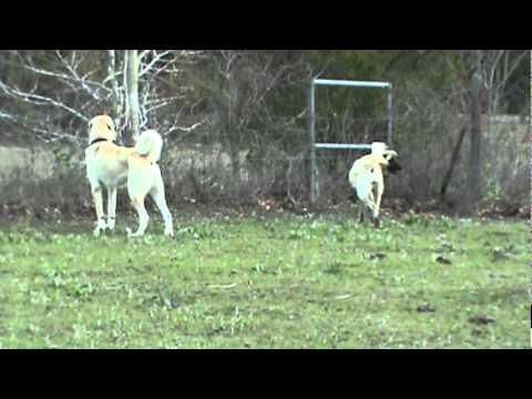 Videos — Boz Shepherd Dog Breeders Association TBBA Turkish