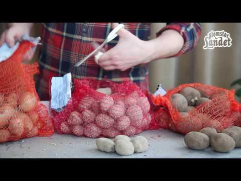 Odla potatis i kruka eller hink – gör så här