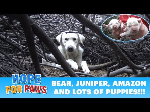 Homeless Labrador mom tried to trick us, but found all her puppies!!!  Please share.