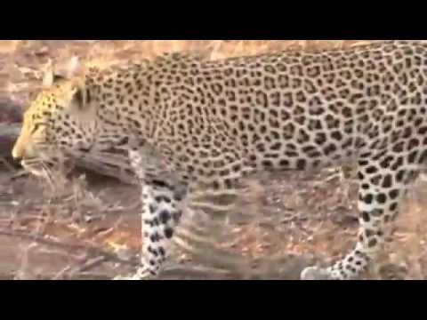 "Walking with the leopard (Kruger Thornybush ""South Africa"")"
