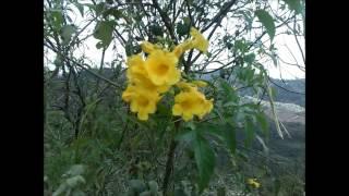 Flores amarillas de un árbol y sonido