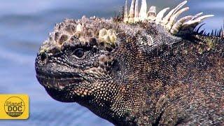 Iguana Documentary
