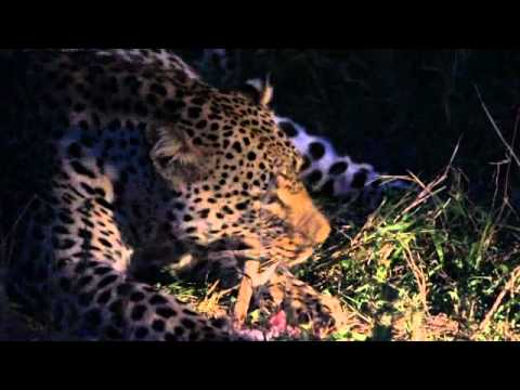 Leopard Crunching Bones – Sabi Sand, South Africa
