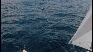 Great White Shark Oceanside CA 8-6-17