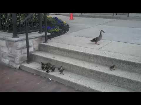Ducklings vs. Stairs - YouTube