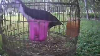 ডাউক পাখির ডাক Dahuk । Birds On Planet Earth
