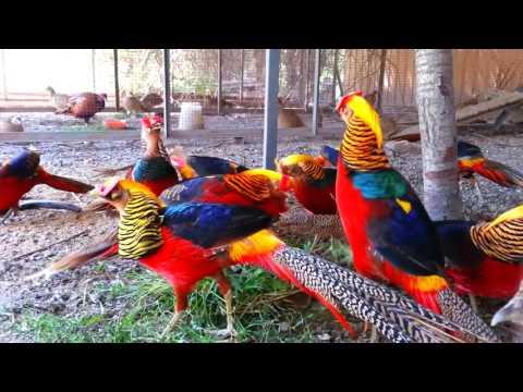 Download Video AYAM HIAS TERCANTIK DIDUNIA Red Golden Pheasant