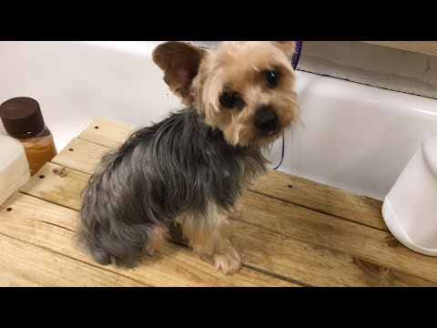 Yorkie bath Elvis