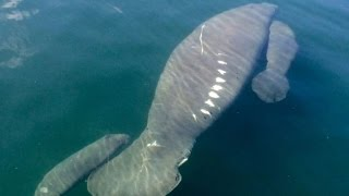Watch This Guys Excited Reaction After Spotting Rare Manatee Twins