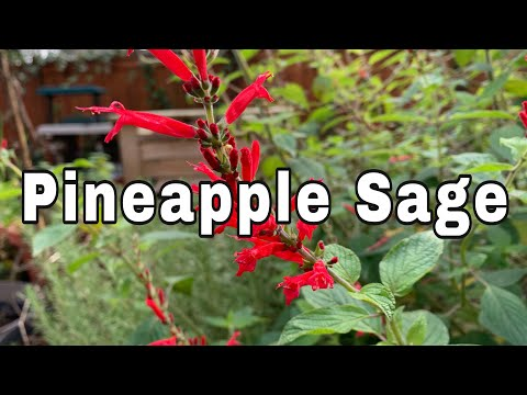 About Pineapple Sage