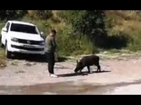 Adını 'Fadime' koydular! Bodrum'da aç kalınca mahalleye inen domuzu elleriyle beslediler