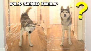 My Husky Reacts To The Invisible Challenge!