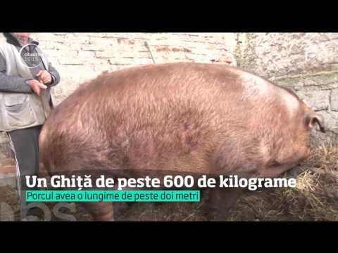 Cel mai mare porc din România