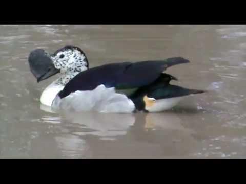 Knob Billed Duck