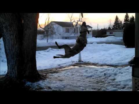 Pit Bull Spring Pole ♥ (Pitbull34-Pitbull TR)