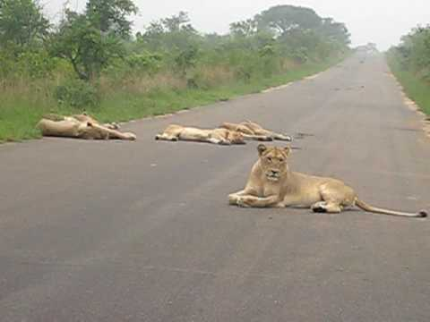 South Africa Kruger Park  – couple of lions laying on the main road with no intention to move