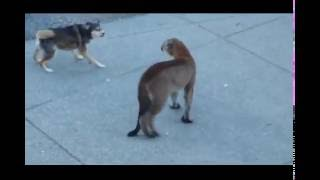Dogs VS Mountain Lion!