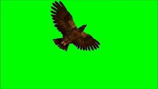 Green Screen Eagle Flying / Soaring