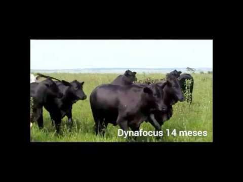 Filhas Dynafocus (Aberdeen Angus) com 14 meses de Idade!