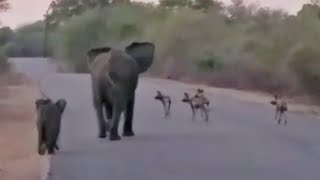 Elephant Mom & Calf Protect Themselves from Wild Dogs
