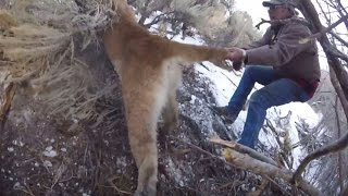 TRAPPED MOUNTAIN LION