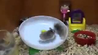 dos Hamsters en un plato