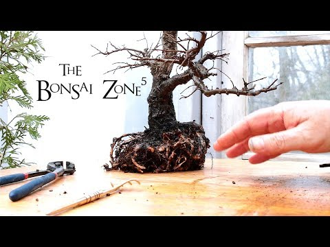 Repotting My Chinese Elm Bonsai, Part 2, May 2018