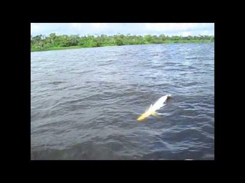 Big tarpon Bluefields Nicaragua.avi