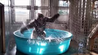 "Splash Dance!  Gorilla Dances to Flashdances ""She's a Maniac"""