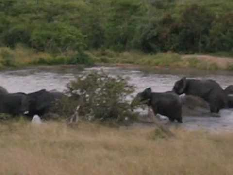 Wild elephants in a watering hole in South Africa