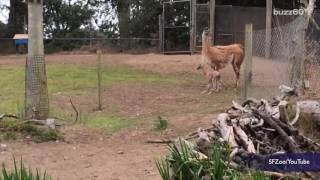 San Francisco Zoo Welcomes the Most Adorable Baby Guanaco
