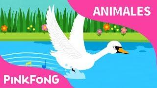 Hermoso Cisne   Cisne   Animales   PINKFONG Canciones Infantiles