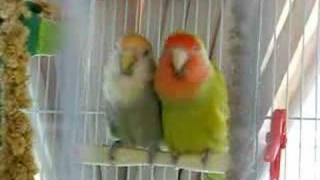 Swinging Lovebirds