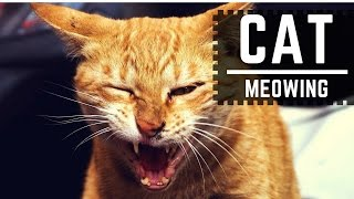 CATS MEOWING LOUDLY - ¡Make your cat or dog mad and crazy! HD  SOUND EFFECT