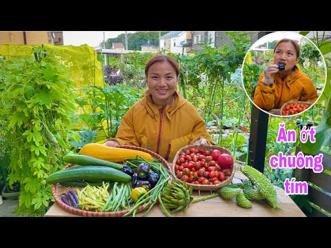 Hái đậu đủa, đậu que xanh vàng tím, ớt chuông tím, cà chua, bí ngòi, dưa leo,khổ qua&bông atiso #964