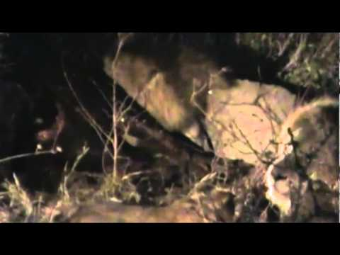 Lions feed on Cape Buffalo  #4