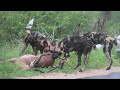 Wild Dog Kill South Africa Kruger Park